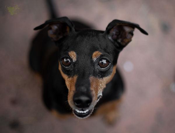 Pinscher, Hundeblick, Hundefoto, Fotoshooting mit Hund, Hundefotografie, Hundefotograf, Rheinland-Pfalz, Bad Dürkheim, Hundeportrait