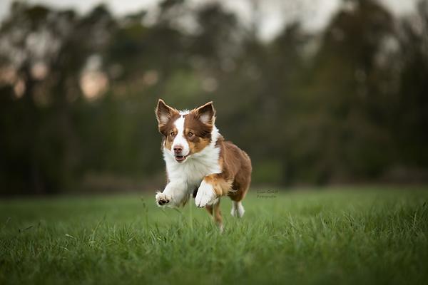 Aussie, Australian Shepherd, Hundeblick, Hundefoto, Fotoshooting mit Hund, Hundefotografie, Hundefotograf, Rheinland-Pfalz, Bad Dürkheim, Hundeportrait