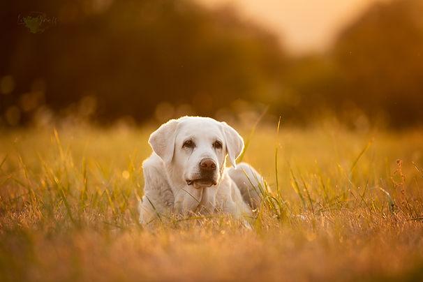 Labrador, Hundeblick, Hundefoto, Fotoshooting mit Hund, Hundefotografie, Hundefotograf, Rheinland-Pfalz, Bad Dürkheim, Hundeportrait