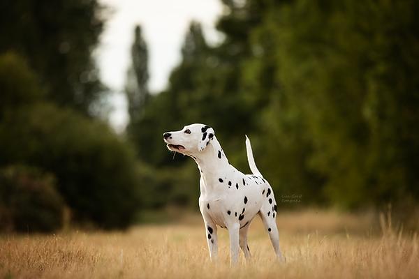 Dalmatiner, Hundeblick, Hundefoto, Fotoshooting mit Hund, Hundefotografie, Hundefotograf, Rheinland-Pfalz, Bad Dürkheim, Hundeportrait
