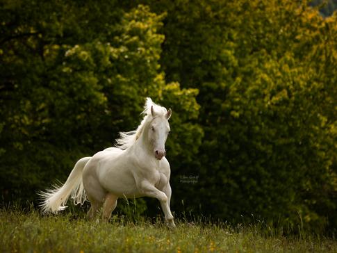 Spanier, Spanisches Pferd, Hengst, Fotoshooting mit Pferd, Pferdefoto, Pferdefotograf, Pferdefotografie, Rheinland-Pfalz, Bad Dürkheim, Pferdeportrait