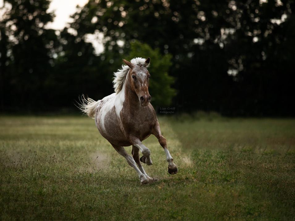 Pony, Schecke, Fotoshooting mit Pferd, Pferdefoto, Pferdefotograf, Pferdefotografie, Rheinland-Pfalz, Bad Dürkheim, Pferdeportrait