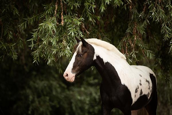 Lewitzer, Fotoshooting mit Pferd, Pferdefoto, Pferdefotograf, Pferdefotografie, Rheinland-Pfalz, Bad Dürkheim, Pferdeportrait