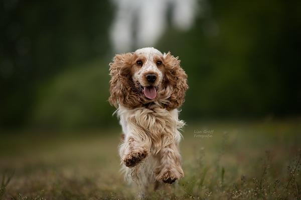 Cockerspaniel, Cocker, Actionfoto, Hundefotografie, Hundefoto, Fotoshooting mit Hund, Hundefotograf, Rheinland-Pfalz, Bad Dürkheim