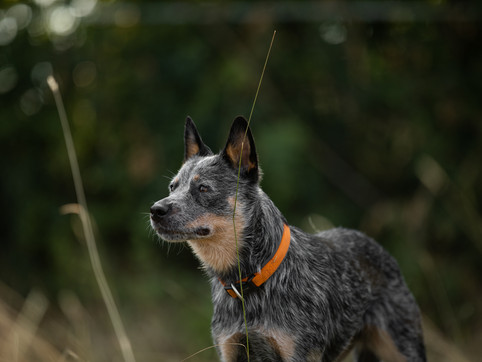 Austraian Cattle Dog, Hundefoto, Fotoshooting mit Hund, Hundefotograf, Hundefotografie, Hundeportait, Rheinland-Pfalz, Bad Dürkheim
