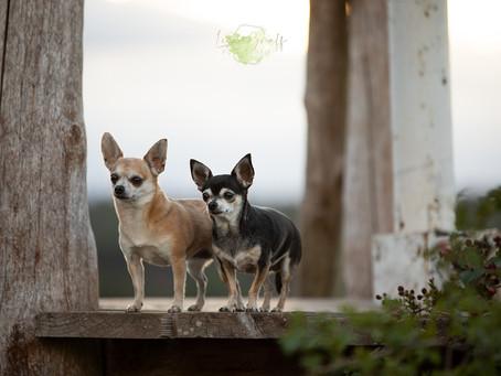 Mit zwei Chihuahuas in der Heide