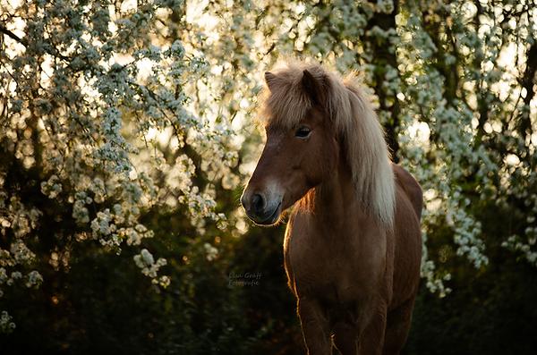 Isländer, Islandpferd, Fotoshooting mit Pferd, Pferdefoto, Pferdefotograf, Pferdefotografie, Rheinland-Pfalz, Bad Dürkheim, Pferdeportrait