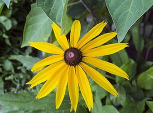 rudbeckia-flower-yellow-flowers-garden-f