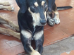 Este lindo cãozinho, SRD, macho está disponível para adoção responsável.  Interessados deverão entrar em contato pelo fone: (81) 9.8660.1217.
