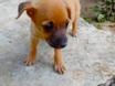 Essa cachorrinha, SRD está para adoção, com castração garantida.  Interessados, entrar em contato com (81) 9.8494.9903 ou 9.9931.6876 (Recife/PE)
