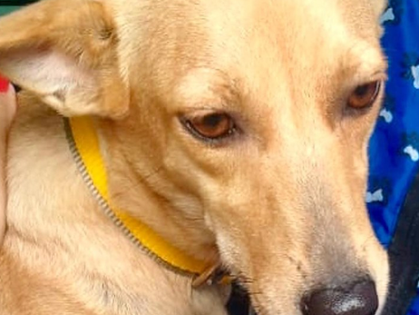 Esta linda cadelinha também se encontra disponível para adoção responsável.  A mocinha está castrada, vacinada e vermifugada.  Os interessados devem entrar em contato pelo fone (81) 9.9755.1047.