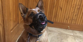 Our story about dog bites and muzzle training.