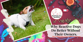 Why Reactive Dogs Do Better Without Their Owners.