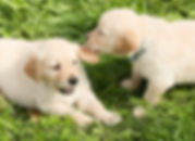 Canva - Cute Puppies Playing on Grass.jp