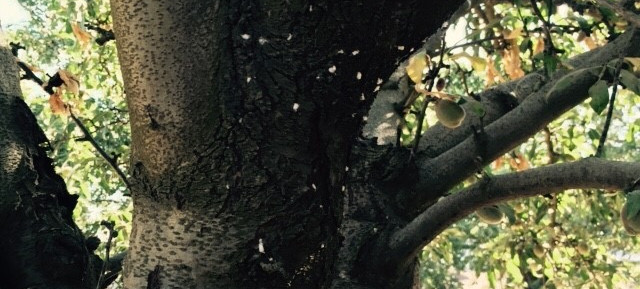 Mealybug in almond
