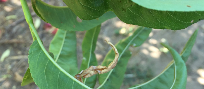 Brown marmorated stink bug spreading to agricultural areas