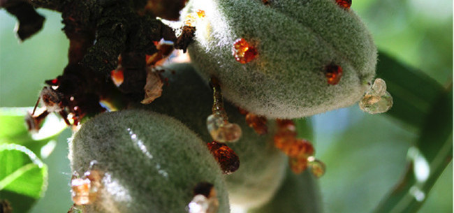 Almond and Walnut Pest Management Guidelines revised just in time for the holidays