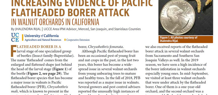 Pacific Flatheaded Borer in Walnuts