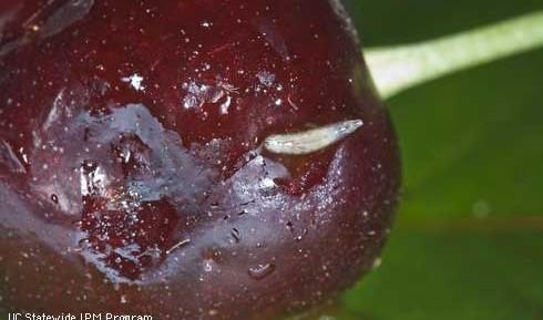 Spotted wing drosophila in cherries