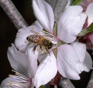 Protect bees from pesticides by using bee precaution ratings from UC IPM