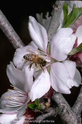 According to a UC Berkeley news report,about one-third of the value of California agriculture comes from pollinator-dependent crops, representing a net value of $11.7 billion per year