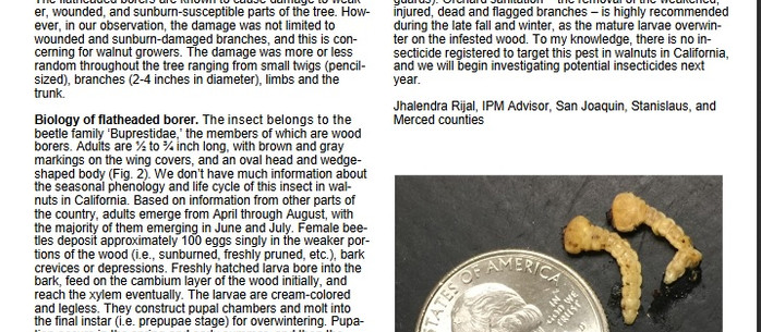 Pacific Flatheaded Borer becoming an issue in walnut orchards