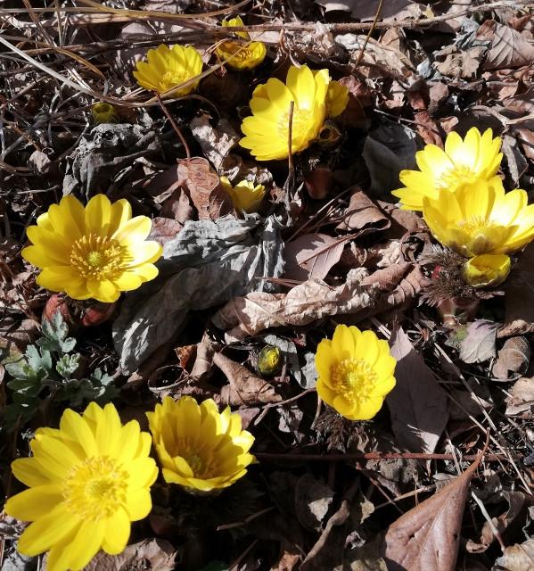 枯れ葉の中から福寿草が顔を出して咲いている