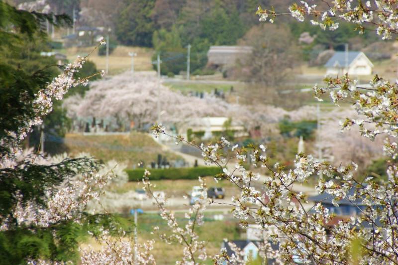 谷戸城跡の桜.jpg