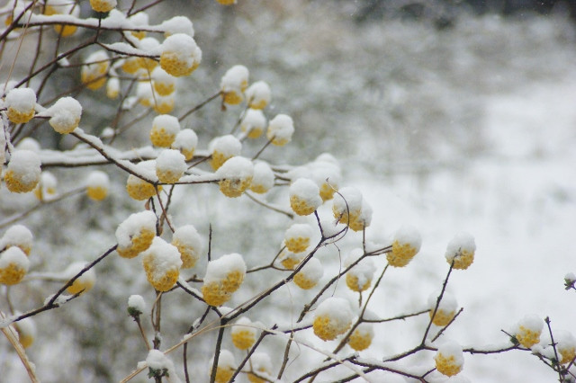 雪と三椏.jpg