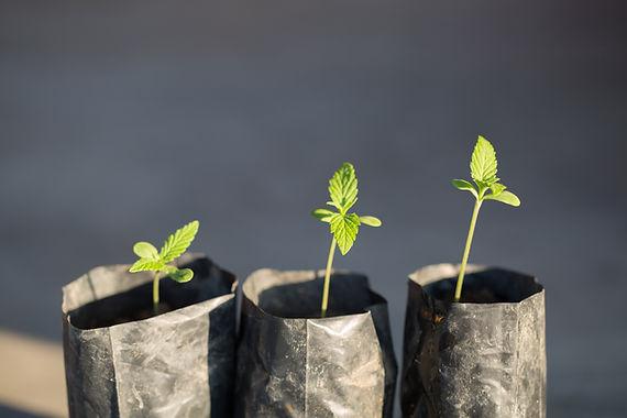 bigstock-Marijuana-Cannabis-Seedling--28