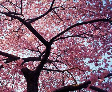 Chain-re-Aktion-Cherry-Blossom.jpg