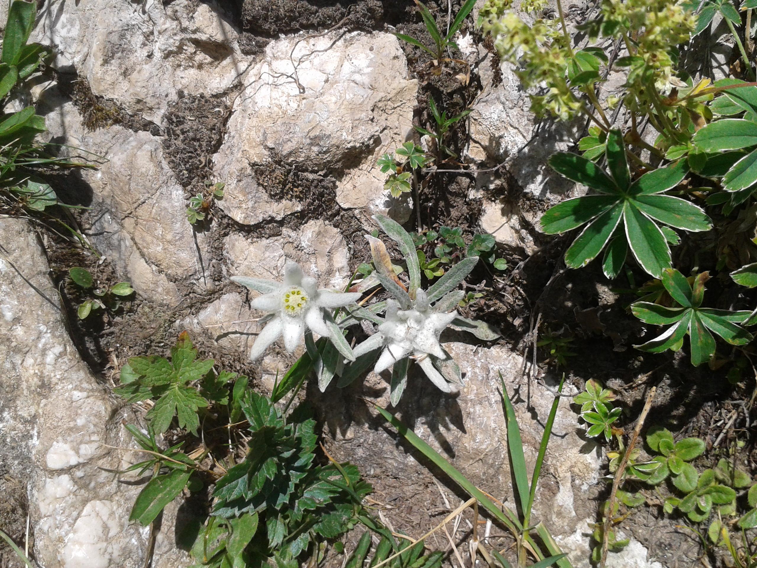 Edelweiss - Bergwanderung Prien a.Ch