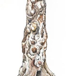 Jan Pittman 'Old marri tree'