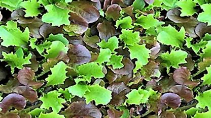 Crispy Babyleaf Salad
