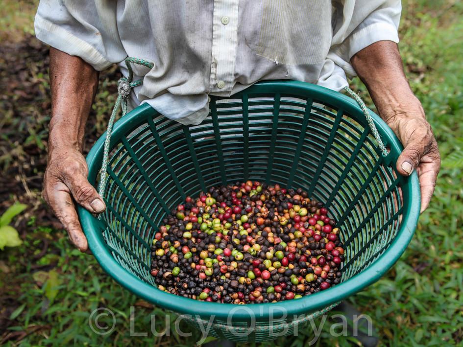 Coffee In Soconusco