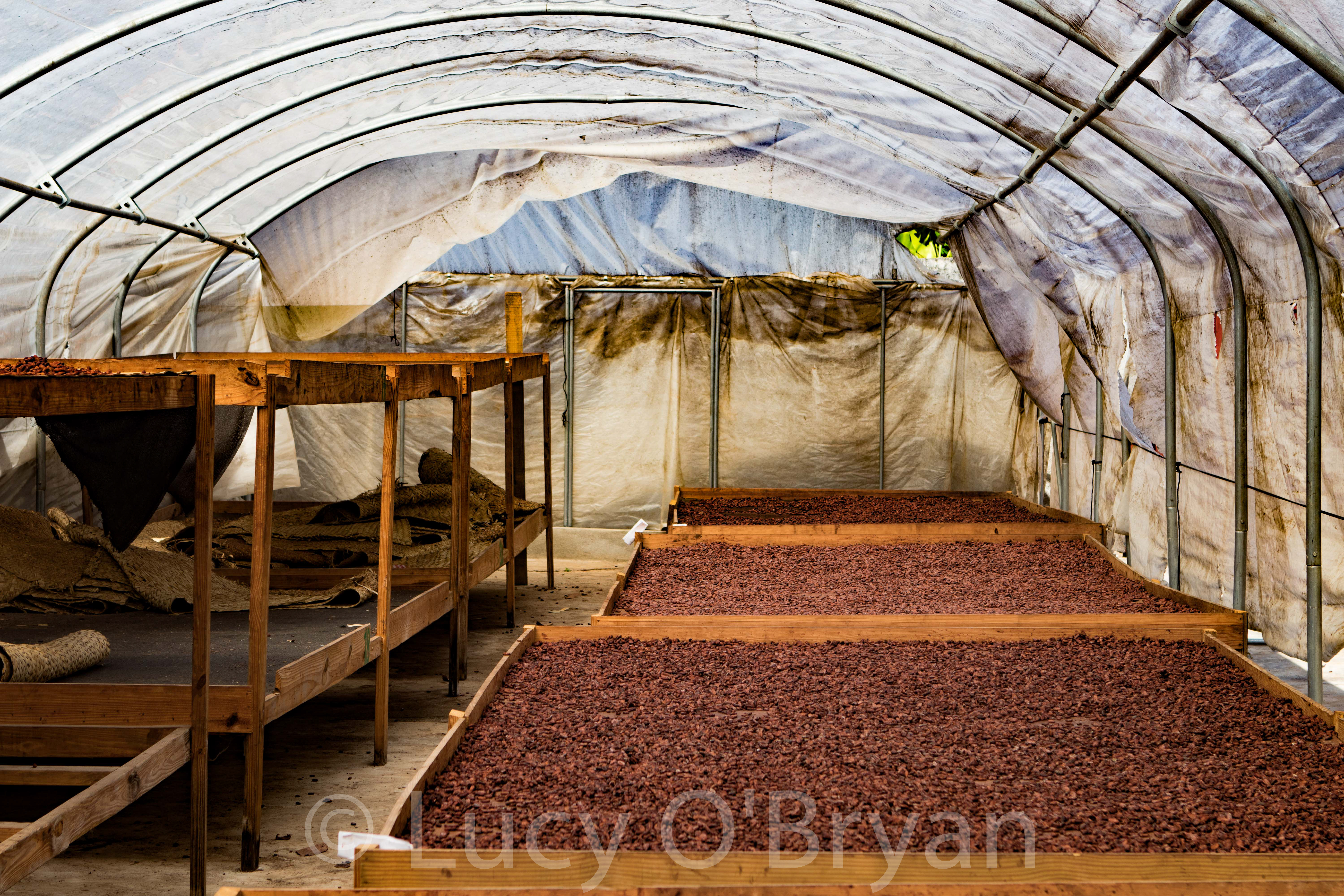 Dame Marie, Haiti. Drying Cacao