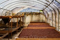 Dame Marie, Haiti. Drying Cacao