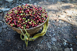 Basket of Coffee