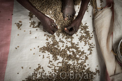 Kivu Coffee-Congo