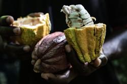 Open Cacoa Pods