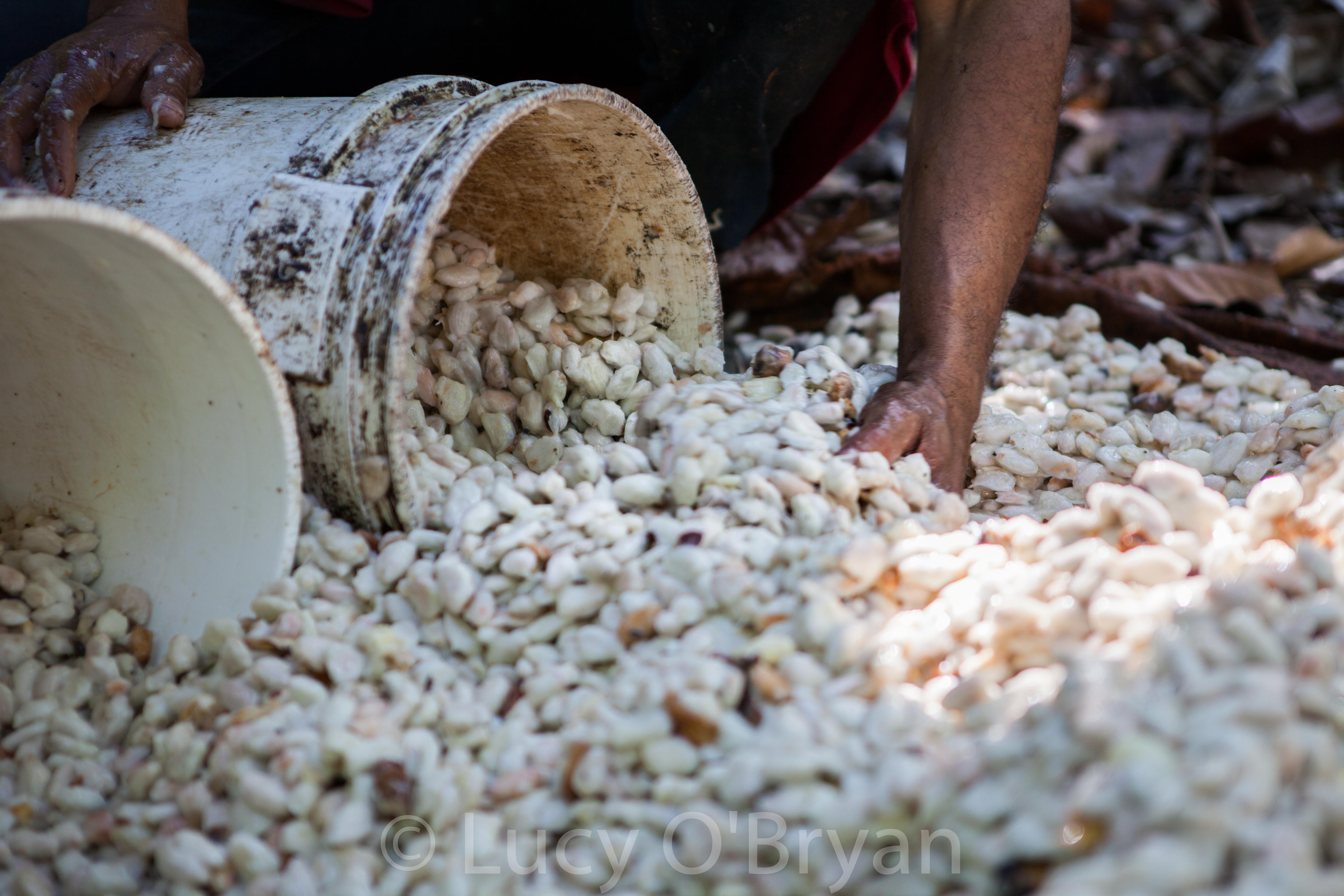 Fresh Cacao-Dominican Republic