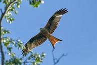red-kite-2449286_960_720.jpg