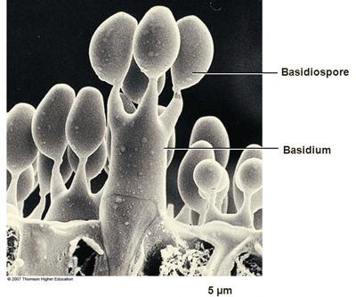 Mold of the week: Basidiospores