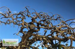 Taille d'un arbre - murier pleureur