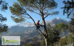 Élagage d'arbres par grimpe