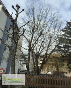 élagage de grandes arbres