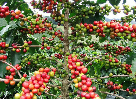 How Coffee Gets from Seed to Cup?