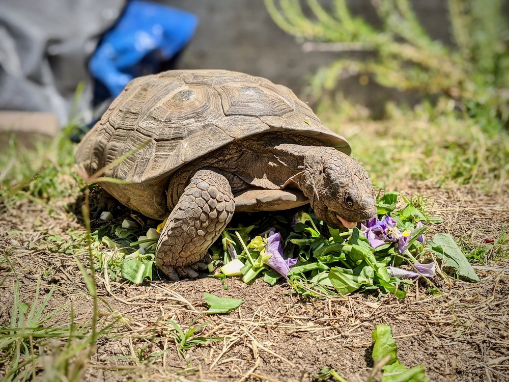 Tortoise named Lawrence of Arabia eating flower petals