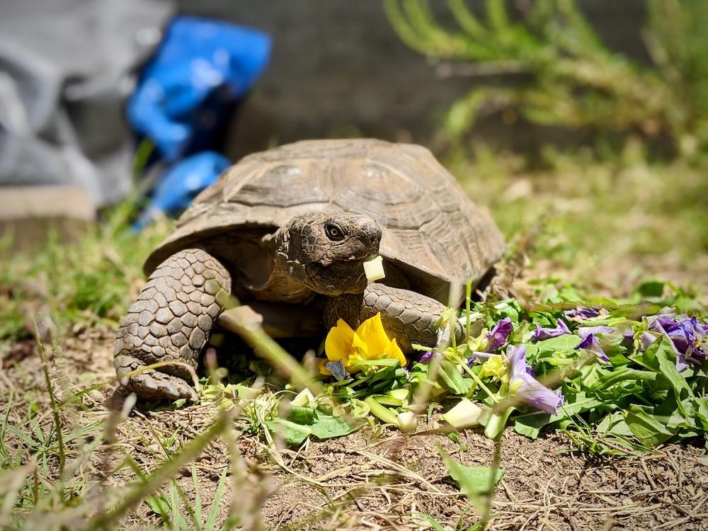 Tortoise named Lawrence of Arabia eating zucchini