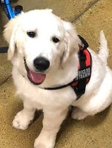 loyal service puppy